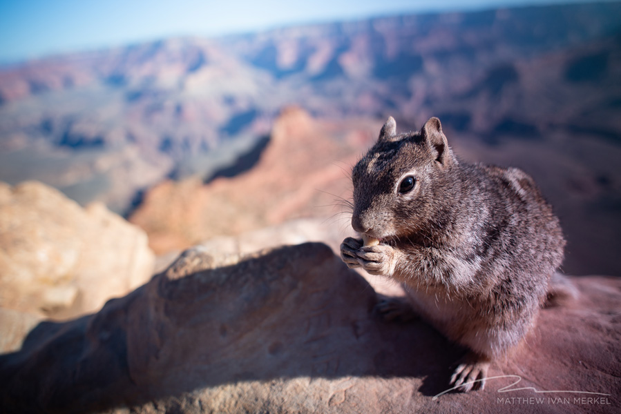 Ground Squirrel at Ooh Aah Point, Grand Canyon